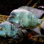 Пресноводные рыбы для аквариума фото