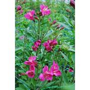 Цветы оптом из Голландии. Зимой тюльпаны оптом. Выращиваем более 10 видов альстромерий. Доставка по Украине. Оформление семейных и корпоративных праздников фото