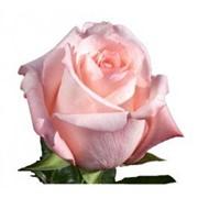 Роза Ангажемент фото