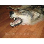 Шкура волка волк дикий фото