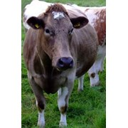 Мясо КРС (говяжье) фото