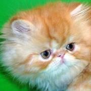 Котенок персидский. Шоу-класс. фото