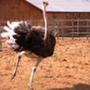 Живые страусы фото
