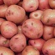 Картофель столовый оптом. Принимаем предварительные заявки. Цены ниже рыночной, договорная. фото