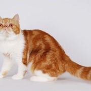 Экзотическая кошечка Вишенка окрас красный мрамор с белым фото