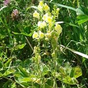 Льнянка обыкновенная (трава) 50г фото