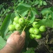 Саженцы грецкого ореха фото