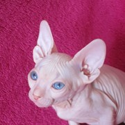 Розовые котята донского сфинкса фото