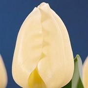 Тюльпаны на 8-е Марта (Сheers) фото