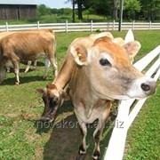 Источник энергии для молочных коров Кау-Энерджи Ликвид фото