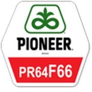 Гибрид подсолнечника ПР64Ф66 фото