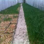 Лук зеленый свежий Херсон, Украина фото