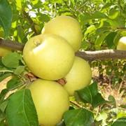Продажа яблок в Алматы фото