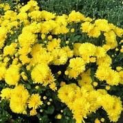 Хризантема златовласка фото