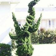 Можжевельник juniperus chinensis Kaizuka фото