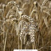 Зерно товарное:Пшеница озимая Антоновка и Богдана Ячмень Кукурудза Подсолнечник семена фото