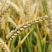 Страхование урожая сельскохозяйственных культур и многолетних насаждений фото