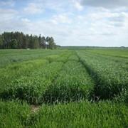 Семена Пшеница яровая фото