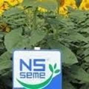 Семена подсолнечника Морава г. Нови Сад (Сербия) фото