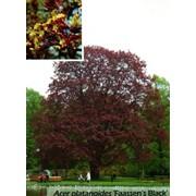 Небольшой кустарник компактной Acer platanoides (клен остролистный) Faassen's Black фото