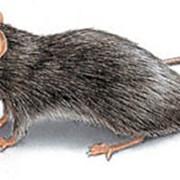 Дератизация. Уничтожение крыс, мышей, грызунов фото