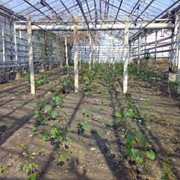 Шпалеры для винограда в Узбекистане фото