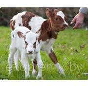 Премикс для телят ПКР-1 для телят в возрасте 10-75 дней фото