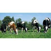 ПРЕМИКС П60-4 для высокопродуктивных коров в пастбищный период фото