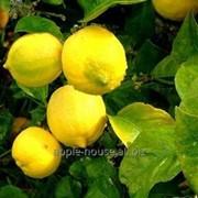 Лимоны китайские фото
