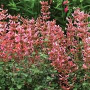 Саженцы лофанта (агастахиса) Kudos Ambrosia фото