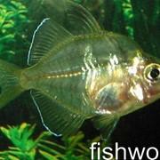 Рыба аквариумная Окунь стеклянный - Chanda ranga фото