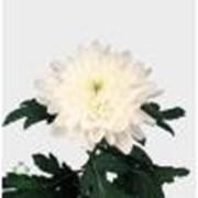 Хризантема Zembla фото