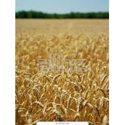 Закупка пшеницы 2,3,4 класс фото