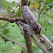 Обрезка молодых деревьев в саду фото