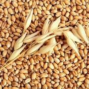 Пшеница, ячмень фураж и 3-6 класс фото