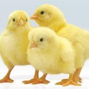 Молодняк суточный цыплята бройлеры ROSS-308 фото