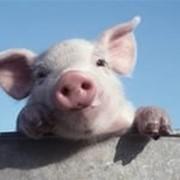 Премикс для откорма свиней Финишер 2,5 % фото