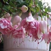 Фуксия ампельная. Цветы для дома и сада фото