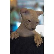 Элитный котенок породы Украинский левкой (лысые). Сфинкс фото