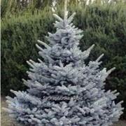 Ель Picea pungens Blue Diamond фото