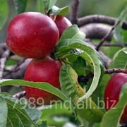 Nectarine in Moldova фото