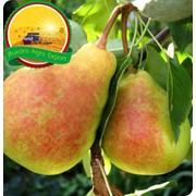 Груши Bukhara Agro Export фото