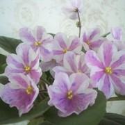 Фиалка Ness Spring Blush фото
