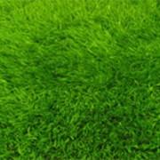 Травы газонные фото