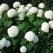 Гортензия древовидная Аннабель (Hydrangea arborescens 'Annabelle') фото