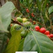 Кофе зелёный фото