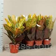 Кодиеум (кротон) пёстрый Excellent -- Codiaeum variegatum Excellent фото