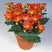 Хризантема горшечная среднецветные фото