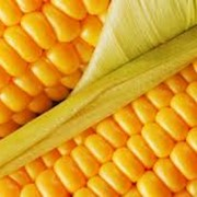 Семена кукурузы раннеспелой фото