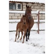 Лошади для спорта Feline de Pasco фото